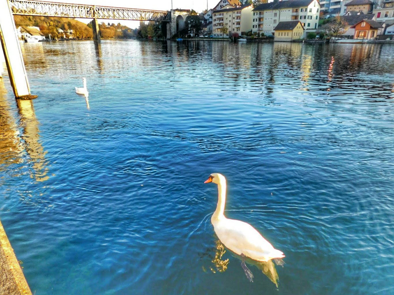 Swans on the Rhine River